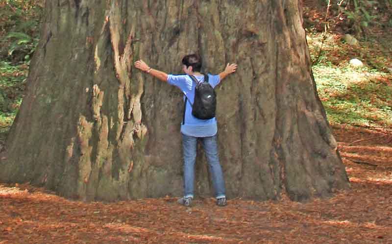 Bild 21 Das gibt einen guten Eindruck von der Dicke der Redwoods