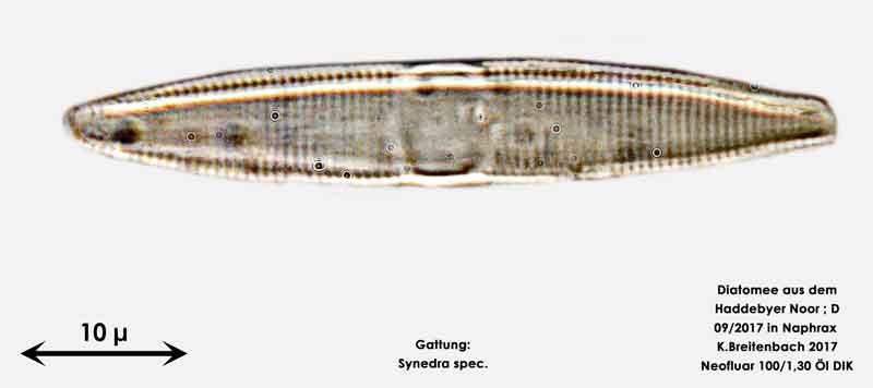 Bild 24 Diatomee aus dem Haddebyer Noor in Schleswig Holstein; Gattung: Synedra spec.