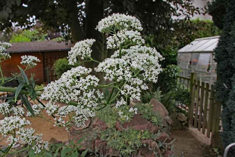 Bild 4 Baldrianpflanze aus unserem Garten ca. 1,5m hoch