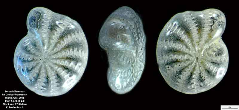 Bild 12 Foraminifere aus Le Crotoy Frankreich. Gattung: Elphidium sp