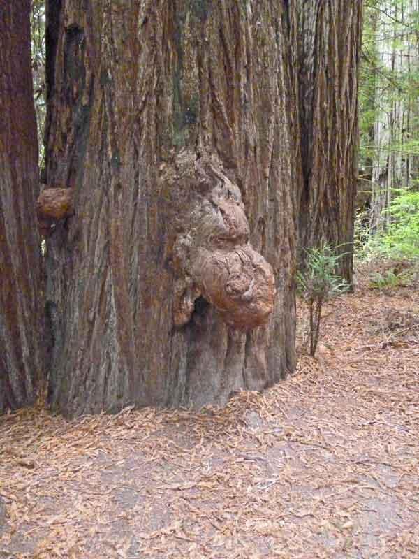 Bild 20 Auswuchs an den Redwoods auf dem Hiouchi Trail