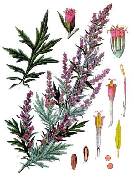 Bild 1 Quelle: By Franz Eugen Köhler, Köhler's Medizinal-Pflanzen