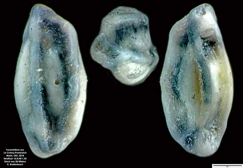 Bild 35 Foraminifere aus Le Crotoy Normandie/Frankreich. Triloculina sp.