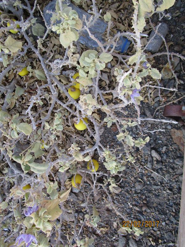 Bild 15 Pflanzen in der Hochebene des Al Jabal Al Akhdar