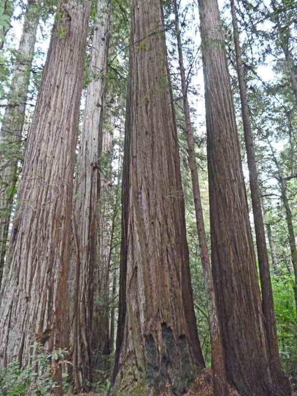 Bild 11 Überall die Riesenredwoods - einfach toll -