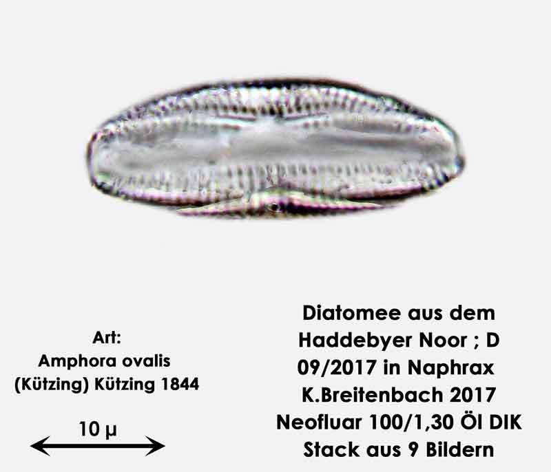 Bild 5 Diatomee aus dem Haddebyer Noor in Schleswig Holstein; Art: Amphora ovalis (Kützing) Kützing 1844.