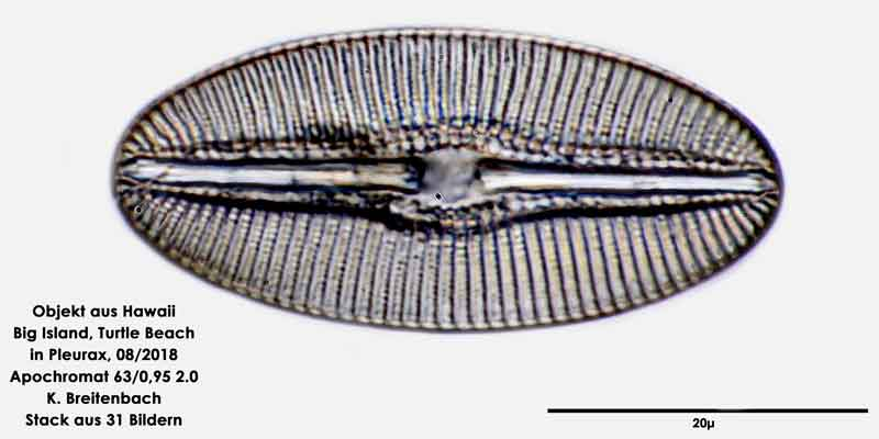 Bild 106 Diatomee aus Hawaii, Big Island, Turtle Beach. Gattung: konnte von mir nicht bestimmt werden