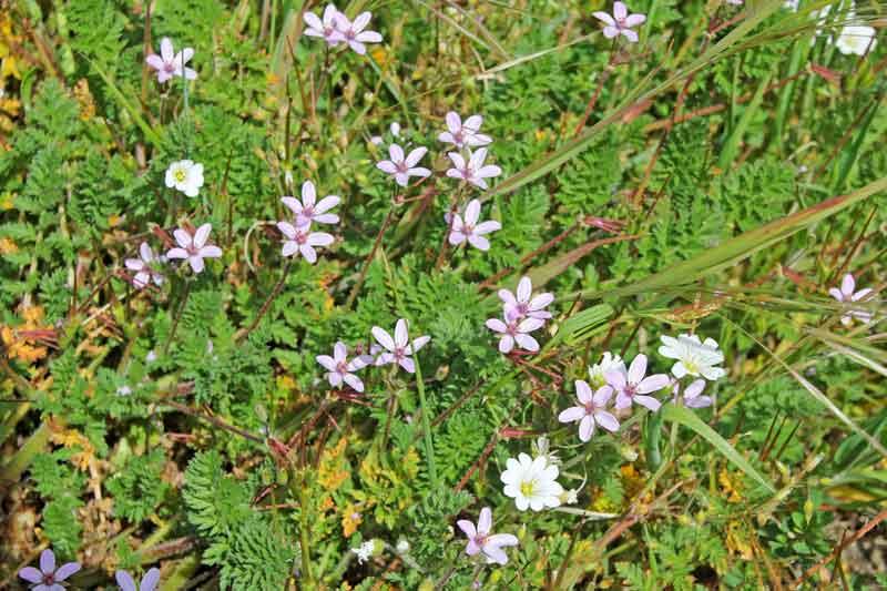 Bild 22 Blumen auf der Wanderung zum Leuchturm von Cap Gris Nez und entlang der Klippen