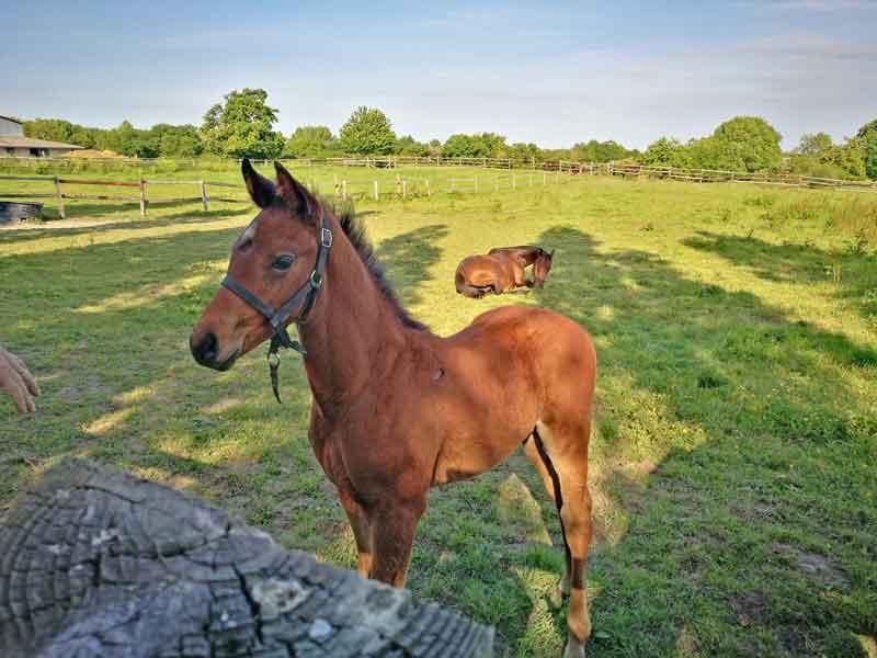 Bild 40 Fohlen auf der Weide bei einem Spaziergang von Clerval