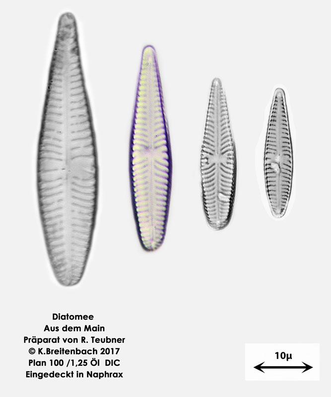 Bild 11 Diatomeen aus dem Main km 69,4 Art: vermutlich Rhoicosphenia spec.