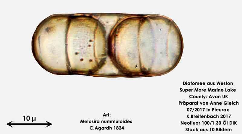 Bild 28 Diatomeen aus Weston Super Mare, UK Art: Melosira nummuloides C.Agardh 1824