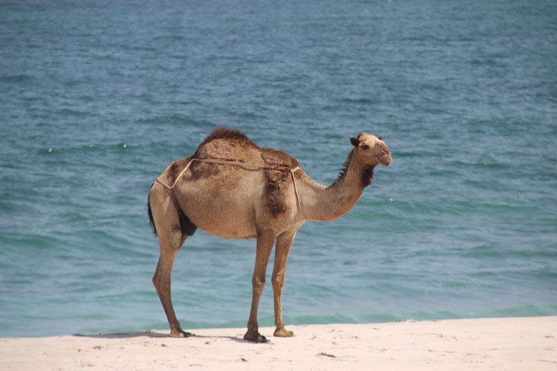Bild 10 Blick auf die Küste mit Kamel im Vordergrund