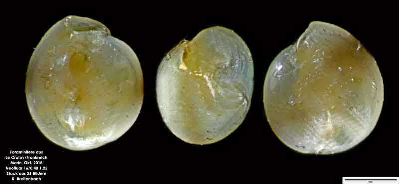 Bild 42 Foraminifere aus Le Crotoy Normandie/Frankreich. Triloculina sp.