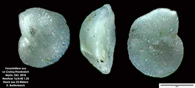 Bild 48 Foraminifere aus Le Crotoy Normandie/Frankreich. Gattung: konnte von mir nicht bestimmt werden