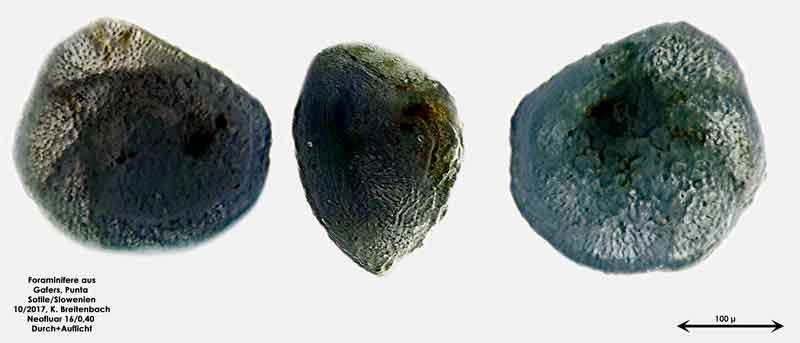 Bild 7 Foraminiferen aus Sand von Punta Sottile. Gattung: Elphidium sp.