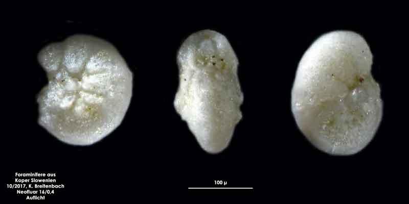 Bild 24 Foraminifere aus Koper/Slowenien Art: wurde von mir nicht bestimmt