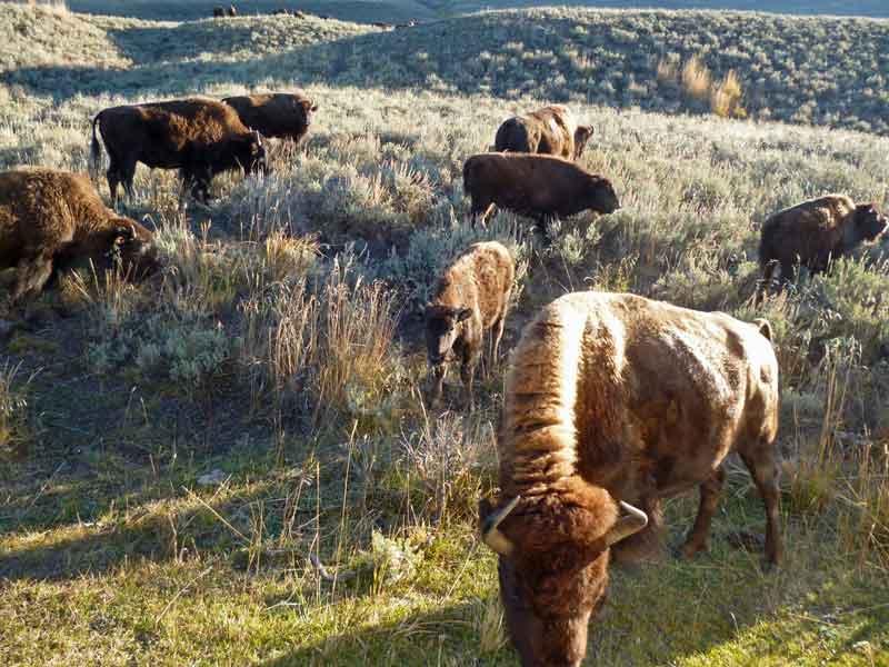 Bild 5 Yellowstone, Bisons im Lamar Valley am Morgen