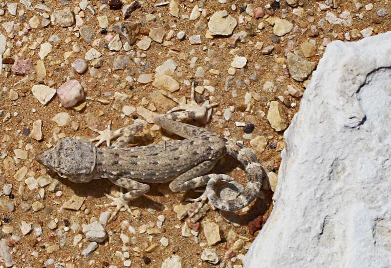 Bild 13 Geckos im Sand