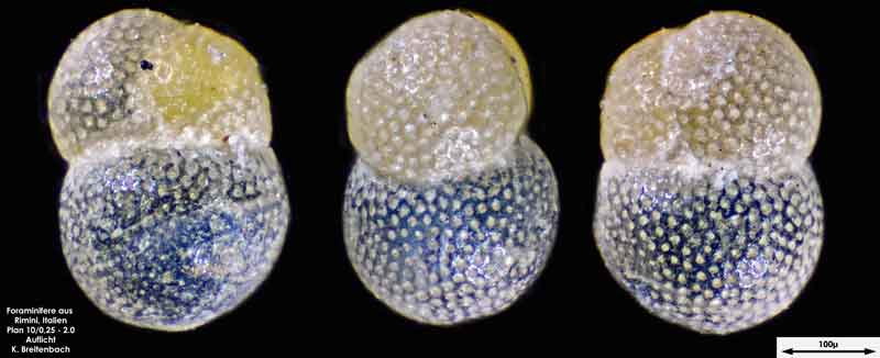 Bild 13 Foraminifere aus Strandsand aus Rimini; Gattung: Globorotalia sp.