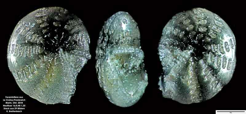 Bild 13 Foraminifere aus Le Crotoy Frankreich. Gattung: Elphidium sp