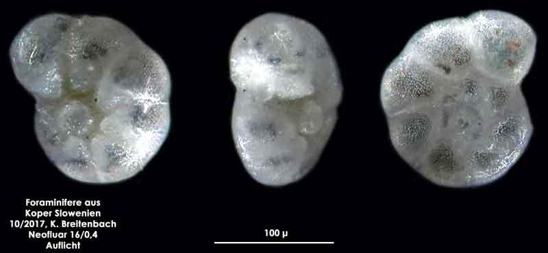 Bild 13 Foraminifere aus Koper/Slowenien Art: spec Haynesina depressula (Walker & Jacob, 1798)