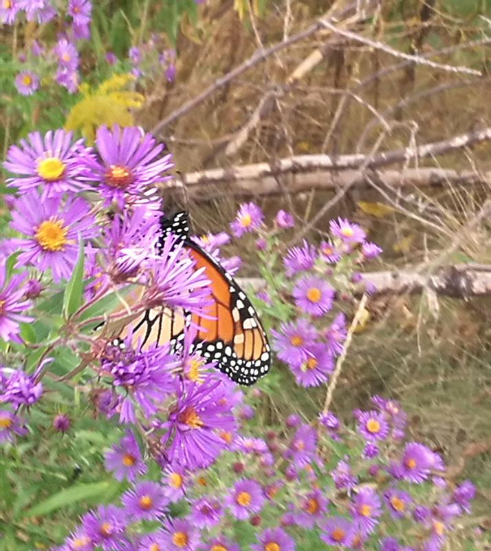 Bild 20 Monarch Falter unterwegs auf einem kleinen Spaziergang