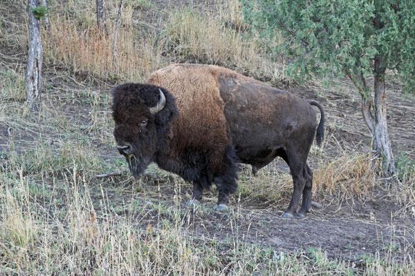 Bild 4 Yellowstone, Bisons im Lamar Valley am Morgen