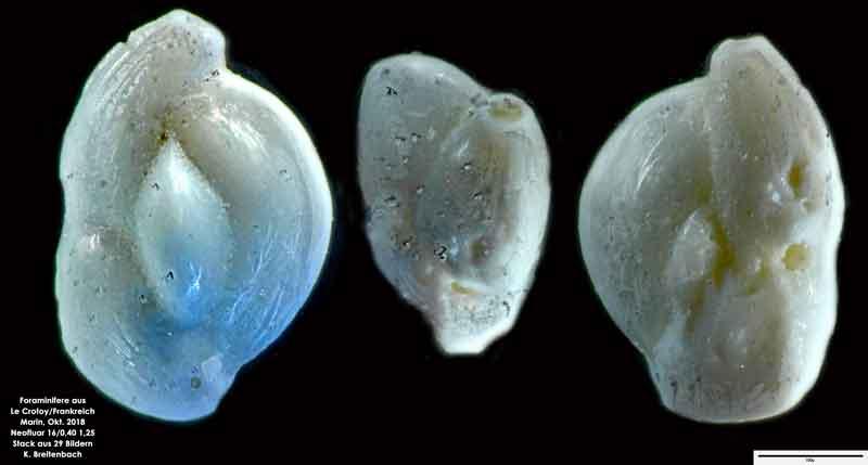 Bild 39 Foraminifere aus Le Crotoy Normandie/Frankreich. Triloculina sp.