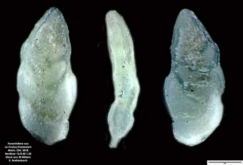 Bild 3 Foraminifere aus Le Crotoy Frankreich. Gattung: Bolivina sp