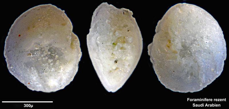 Bild 5 Foraminifere aus Saudi Arabien, Ras as Zawr, Gattung: Amphistegina sp