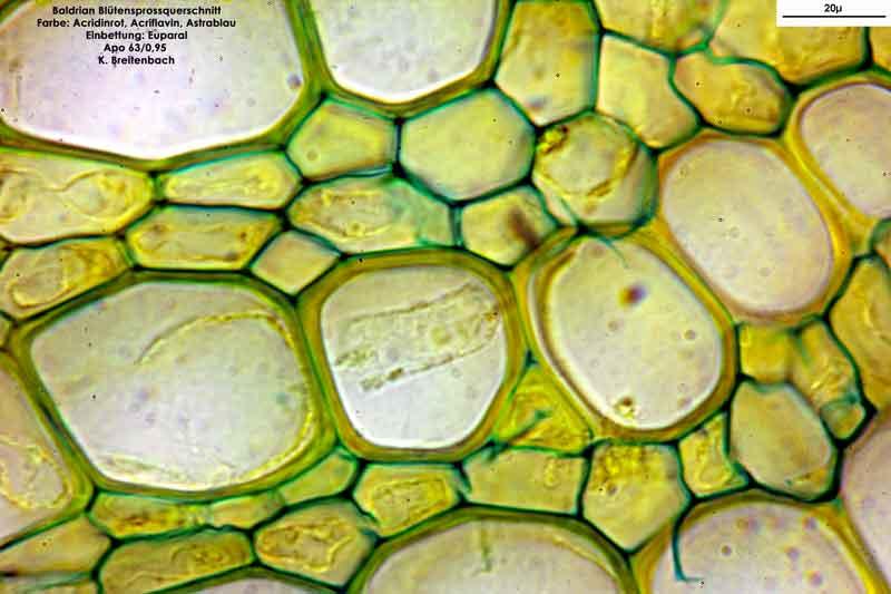 Bild 12 Blütensprossquerschnitt; Baldrian (Valeriana officinalis); Vergrößerung: 63fach