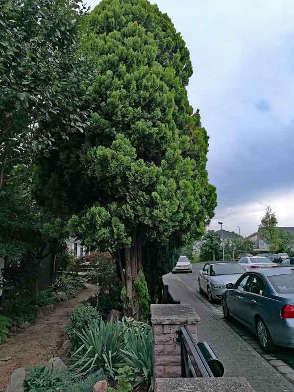 Bild 1 Morgenländischer Lebensbaum (Platycladus orientalis) Gesamtansicht in unserem Garten
