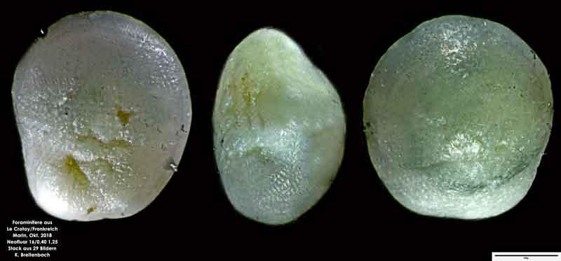 Bild 15 Foraminifere aus Le Crotoy Frankreich. Gattung: Eponides sp