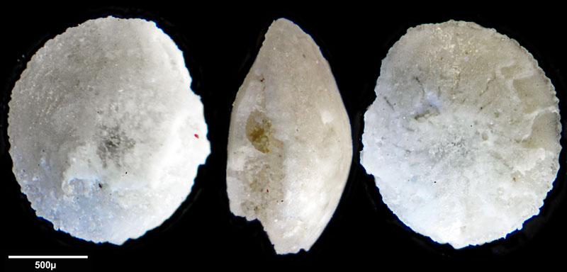 Bild 7 Foraminifere aus Saudi Arabien, Ras as Zawr, Gattung: Amphistegina sp