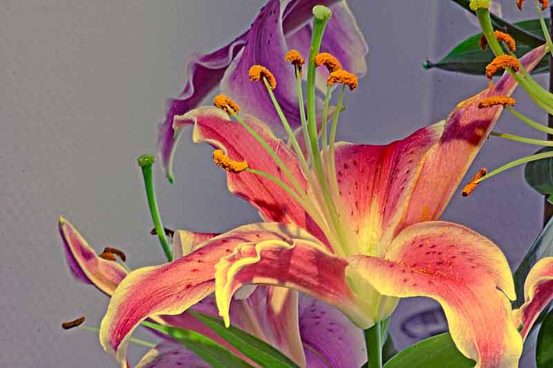 Bild 3: Blüte der Feuerlilie