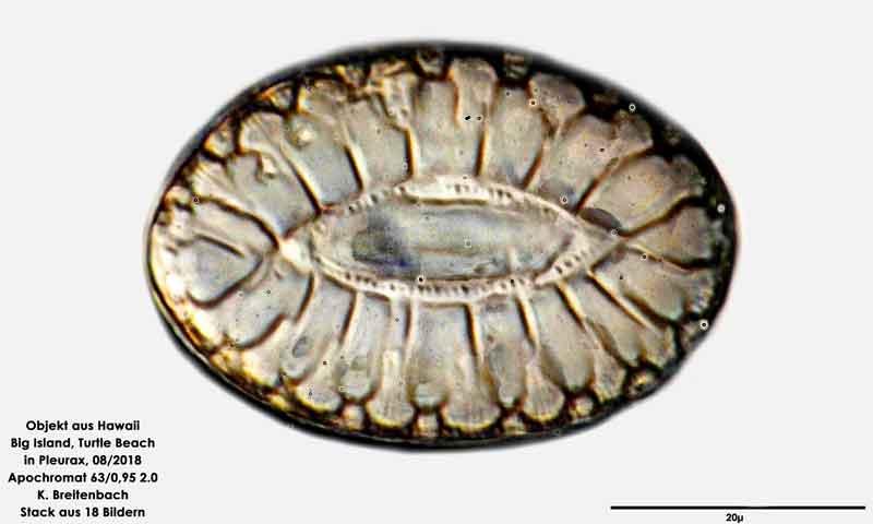 Bild 87 Diatomee aus Hawaii, Big Island, Turtle Beach. Art: Surirella fastuosa (Ehrenberg) Ehrenberg 1843