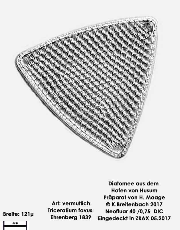 Bild 17 Diatomee aus dem Hafen von Husum Art: Triceratium favus Ehrenberg 1839