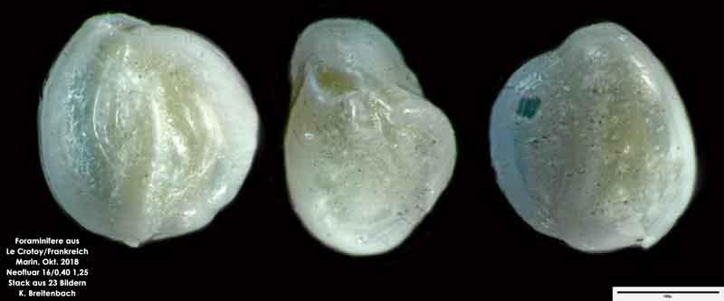 Bild 37 Foraminifere aus Le Crotoy Normandie/Frankreich. Triloculina sp.