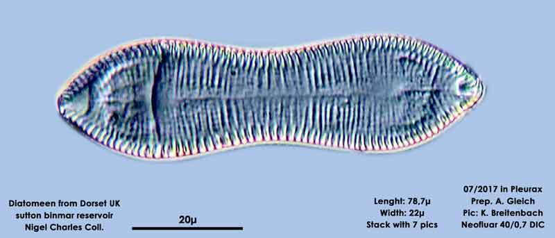 Bild 6 Diatomeen aus Dorset UK, Süßwasser. Art: Cymatopleura librile (Longbye) Schmidt 1899