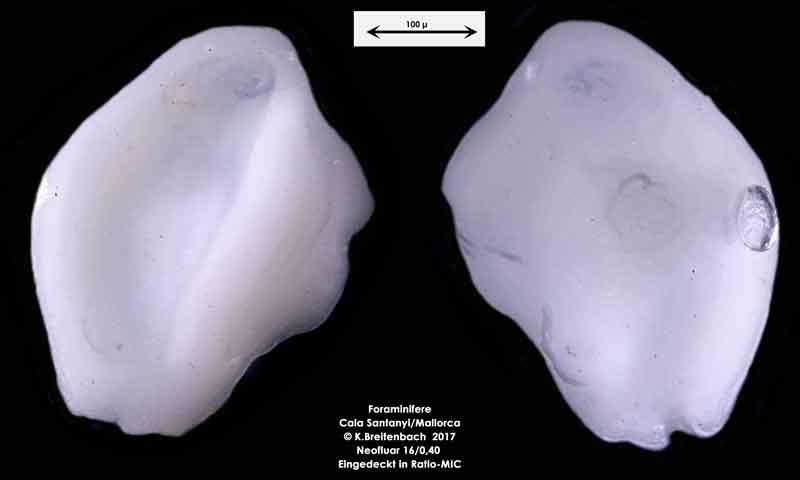 Bild 31 Foraminifere aus Mallorca Cala Santanyi, Art: konnte von mir nicht bestimmt werden