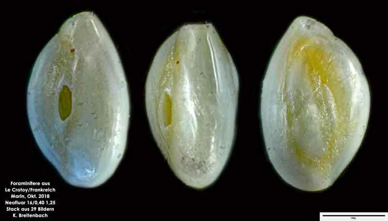 Bild 41 Foraminifere aus Le Crotoy Normandie/Frankreich. Triloculina sp.