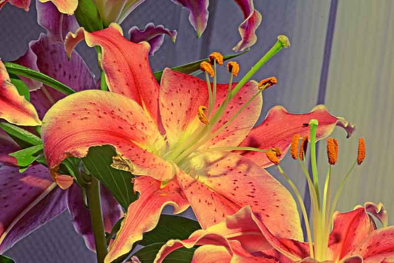 Bild 5: Blüte der Feuerlilie