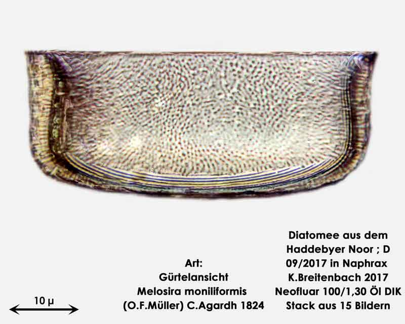 Bild 16 Diatomee aus dem Haddebyer Noor in Schleswig Holstein; Art: Melosira moniliformis (O.F.Müller) C.Agardh 1824; Gürtelansicht