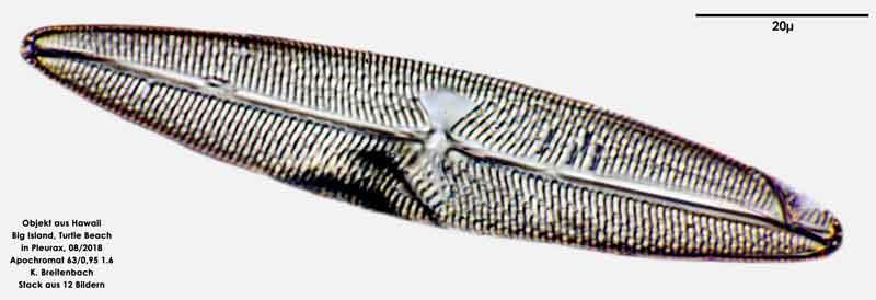 Bild 89 Diatomee aus Hawaii, Big Island, Turtle Beach. Art: Trachyneis aspera (Ehrenberg) Cleve 1894