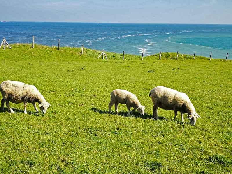 Bild 6 Schafe an der Aussichtsplattform am Cap Gris Nez