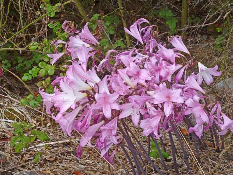 Bild 28 Blumen auf der Wanderung parallel zum Smith River in den Redwoods auf dem Hiouchi Trail
