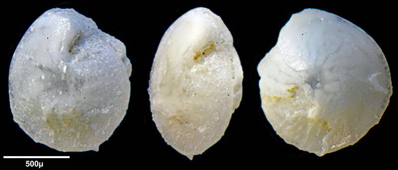 Bild 8 Foraminifere aus Saudi Arabien, Ras as Zawr, Gattung: Amphistegina sp