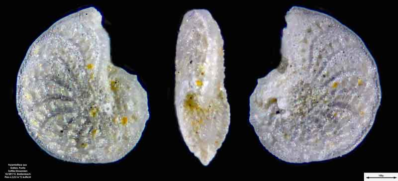 Bild 5 Foraminiferen aus Sand von Punta Sottile. Gattung: Elphidium sp.