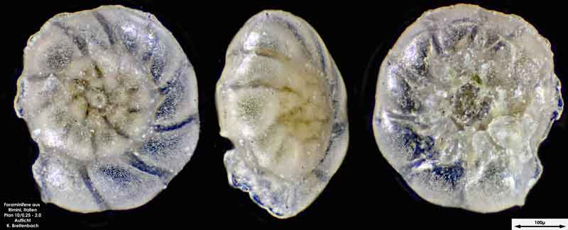 Bild 5 Foraminifere aus Strandsand aus Rimini; Gattung: Ammonia sp.
