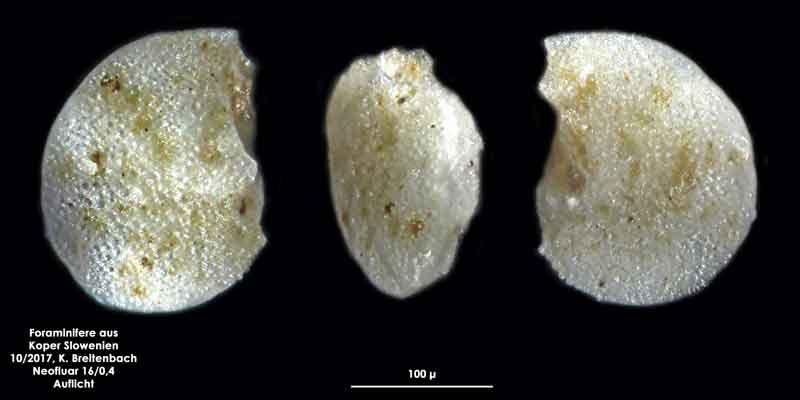 Bild 28 Foraminifere aus Koper/Slowenien Art: wurde von mir nicht bestimmt